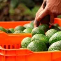 EUA cancela 70% de pedidos de aguacate michoacano por COVID-19; hay 4 mil jornaleros sin prestaciones